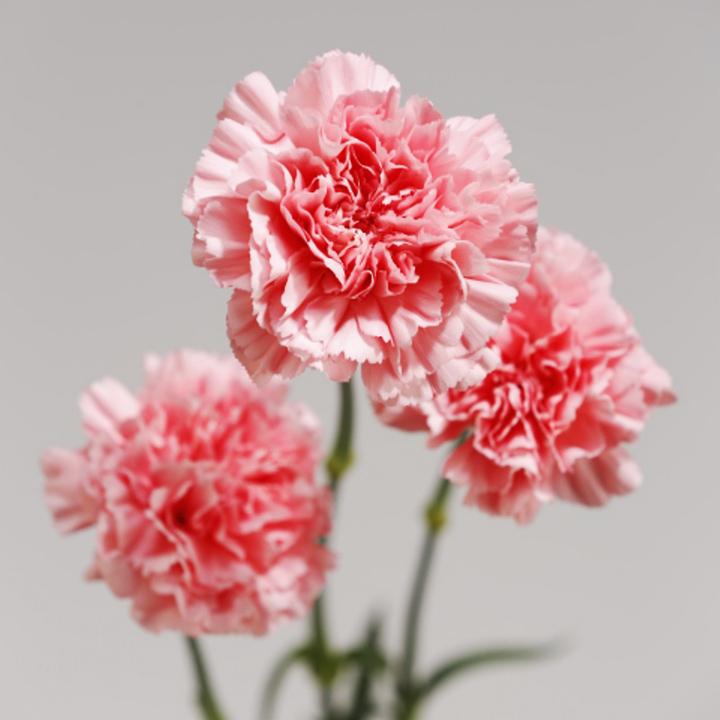 一輪咲きカーネーション(白・ピンク・黄色)