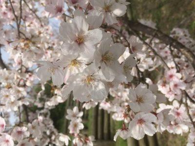 イメージ:吉塚の街路樹