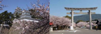 写真:あおやぎバスハイクのご案内 3月「西九州・雲仙お花見プラン」
