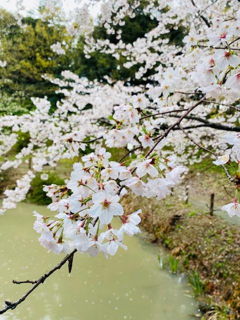 イメージ:桜